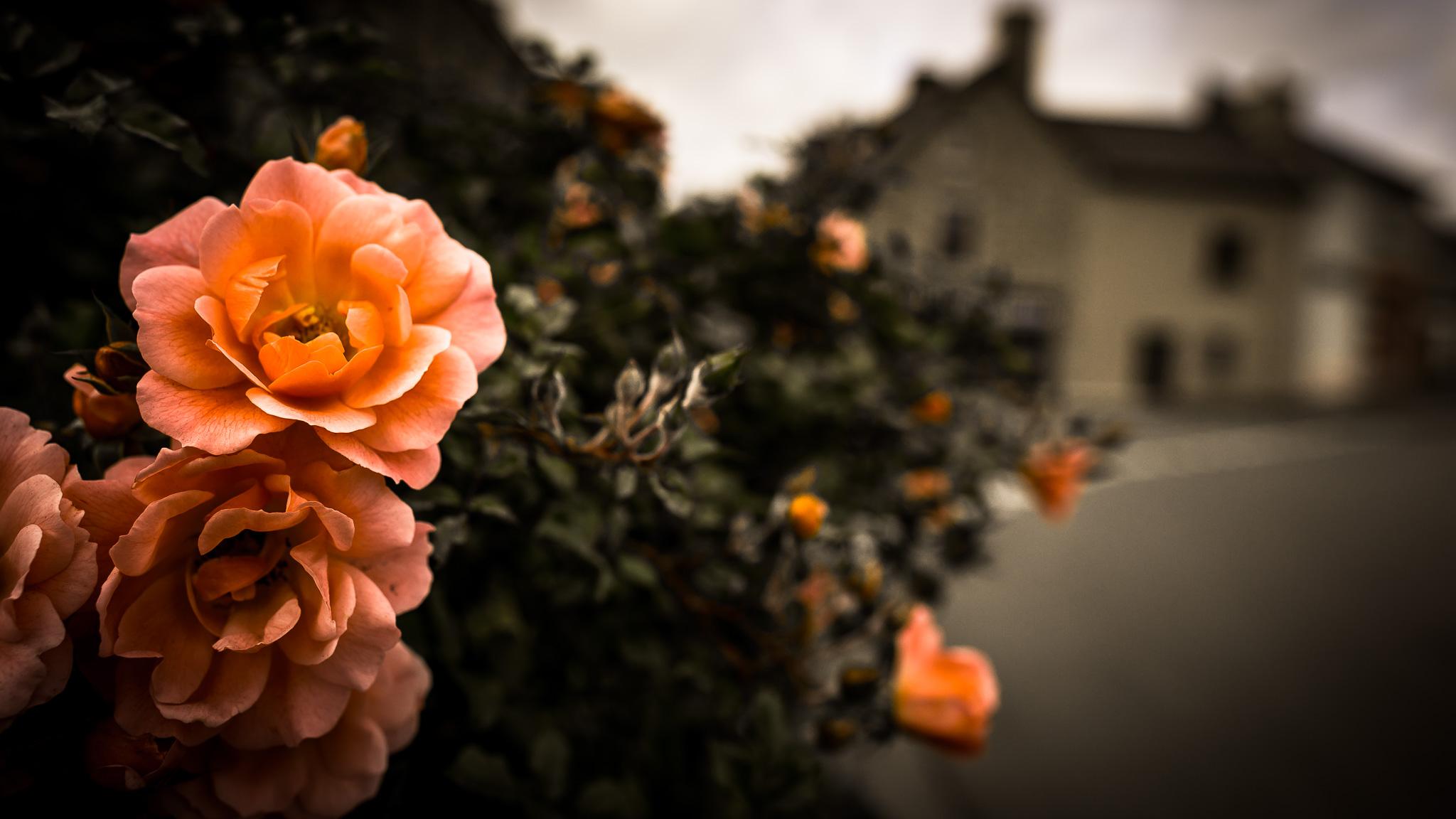 Flowers Ernée Street 2015 MXoN